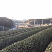 плантация чая асамия