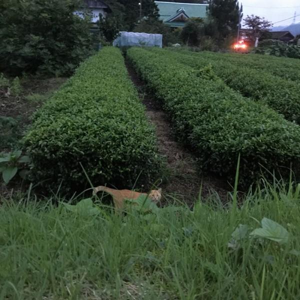 плантация чая куробанэ