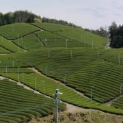 плантация асамия
