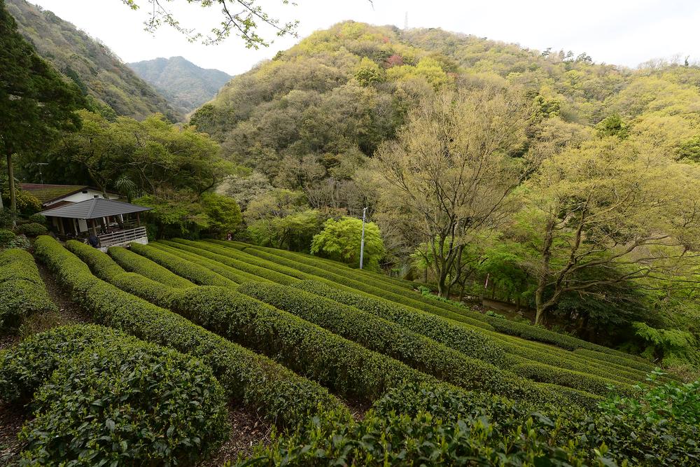чай горный кариганэ