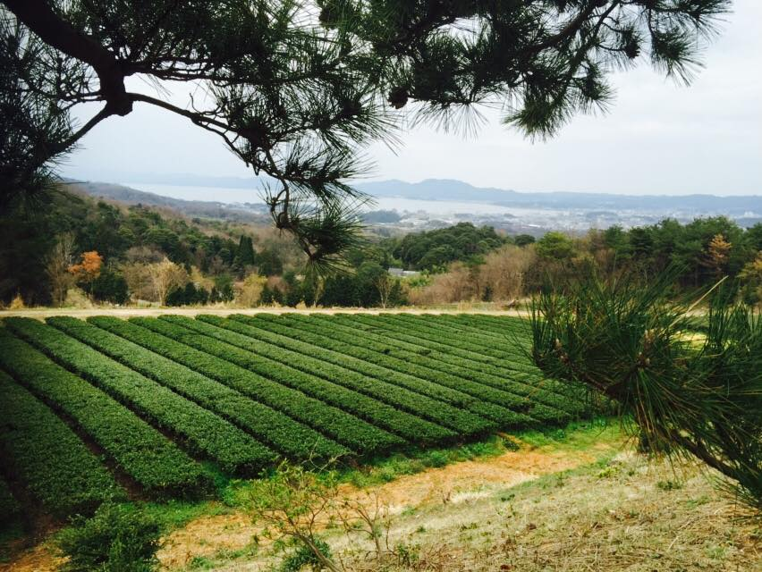 органический чай сенча Мацуэ
