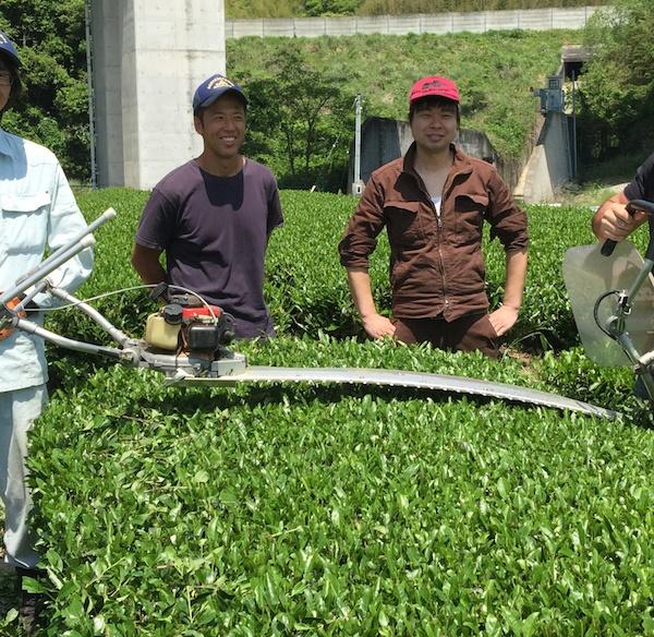 первый сбор чая в Макинохара, префектура Сидзуока