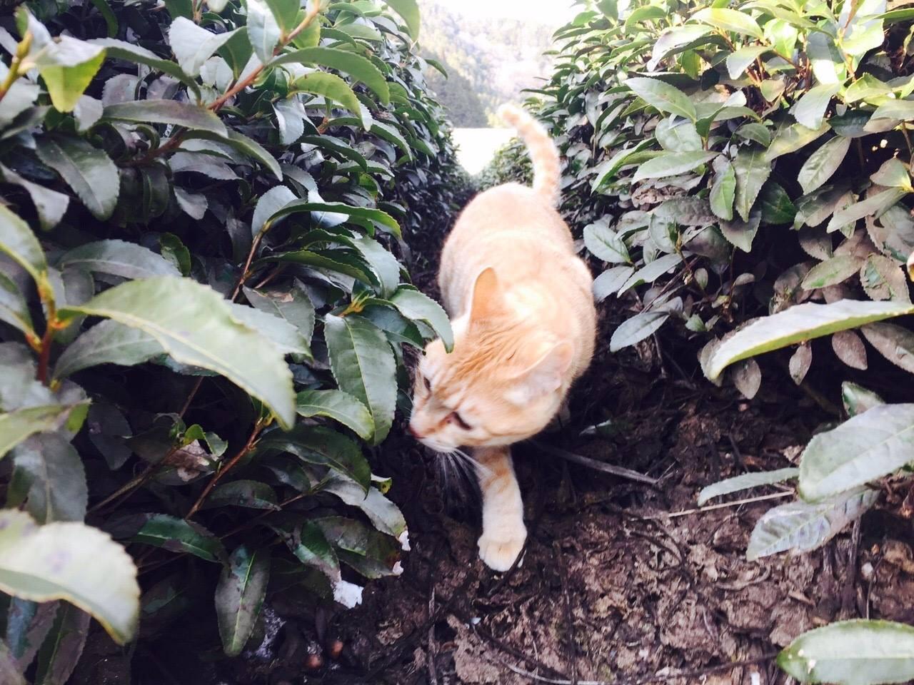 чайный кот