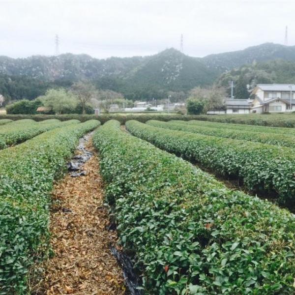 зелёный чай тамба