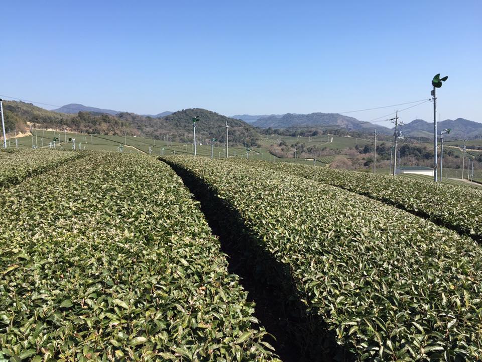 зелёный чай банча из Ямагучи