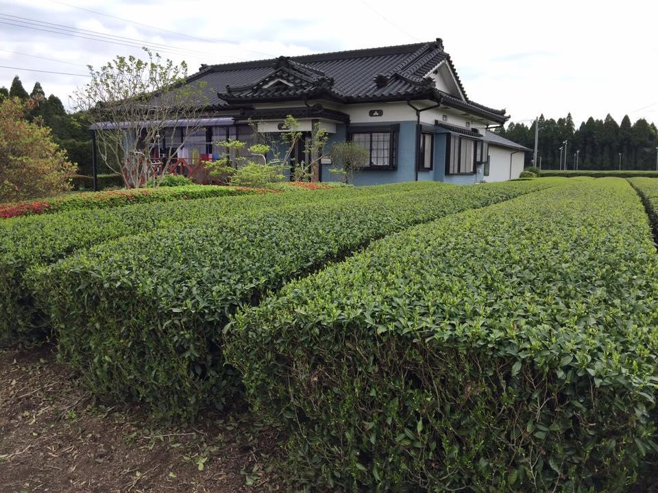 плантация зелёного чая в Кирисима