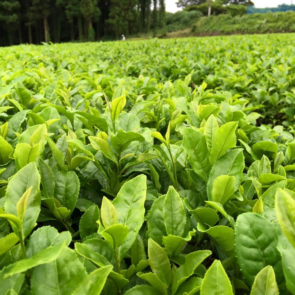фермерский чай банча