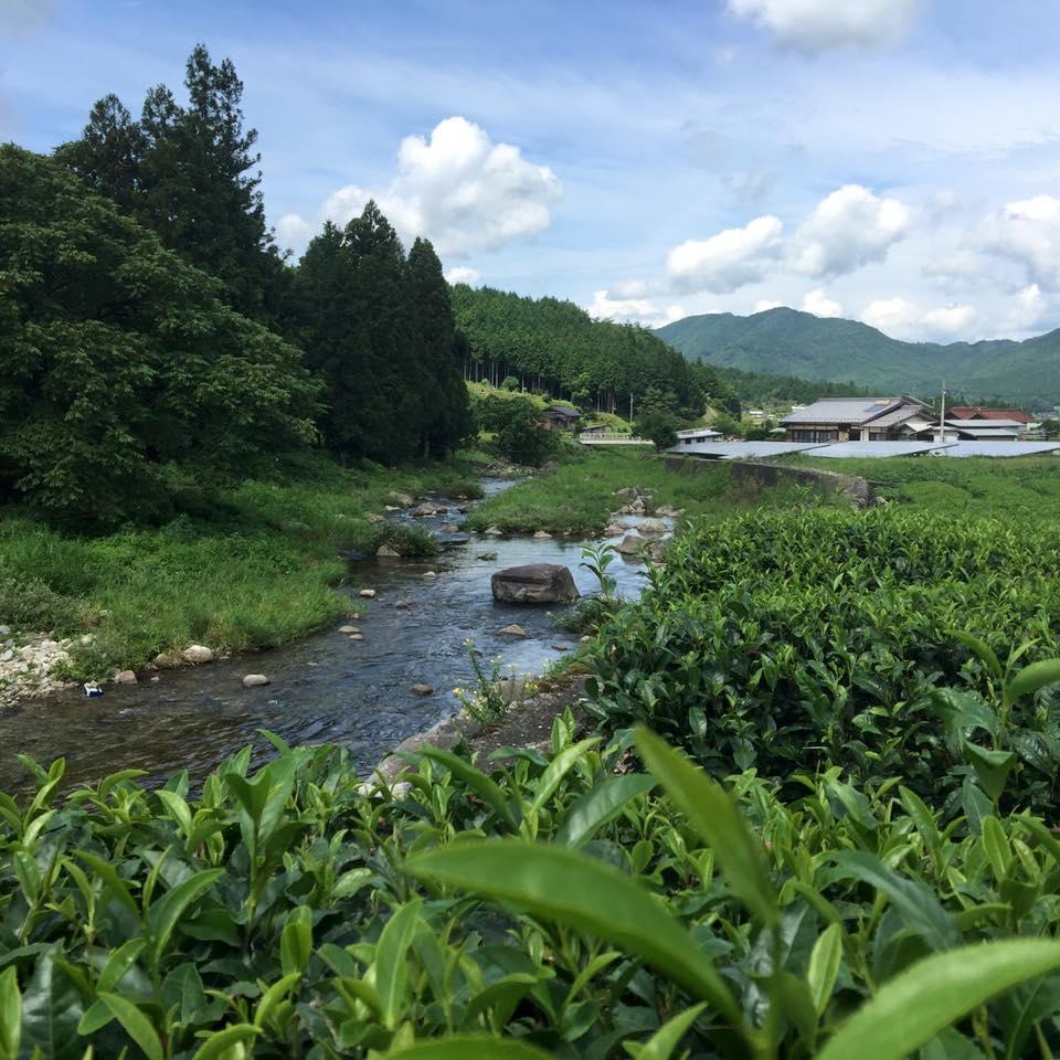 белый японский чай Сиракава сенча