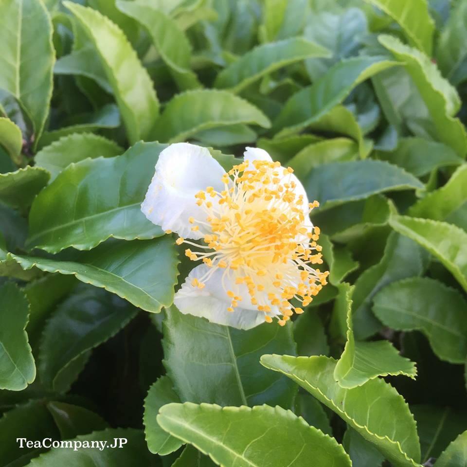 Цветочный банча с острова Сикоку