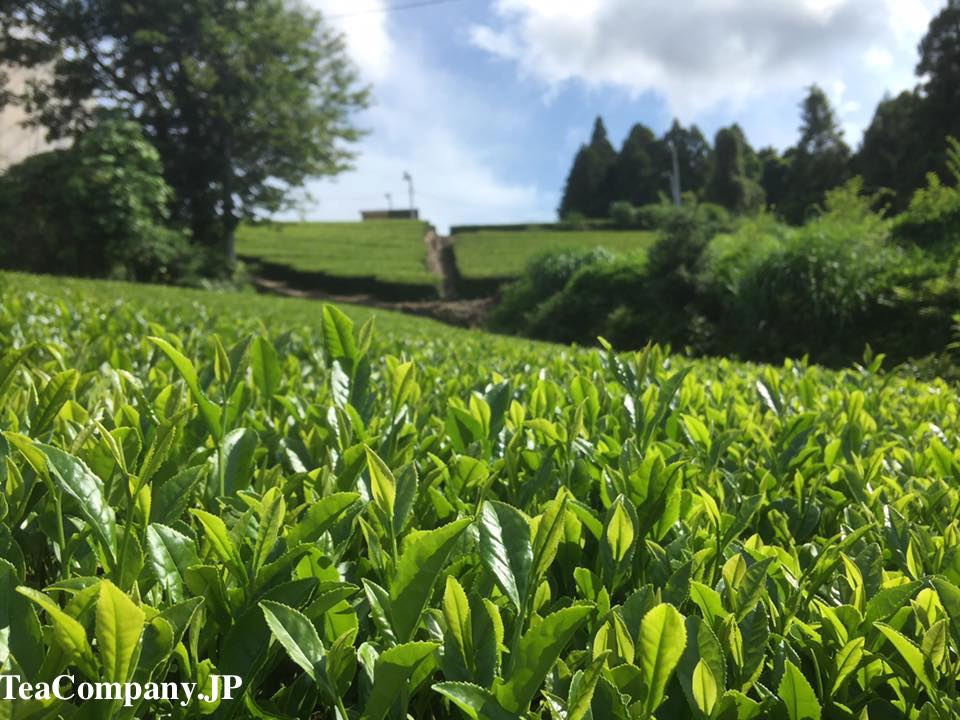 Каная Сидзуока чай