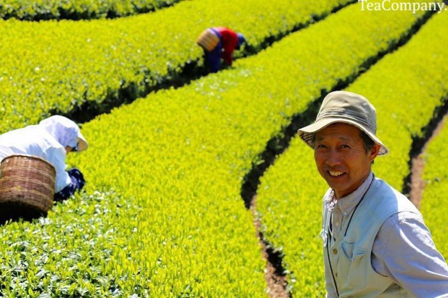 Синча - чай нового урожая