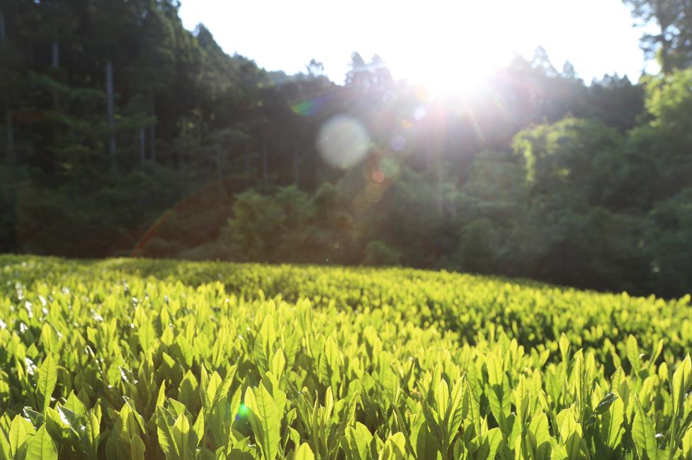 Вараяма боча чай плантация