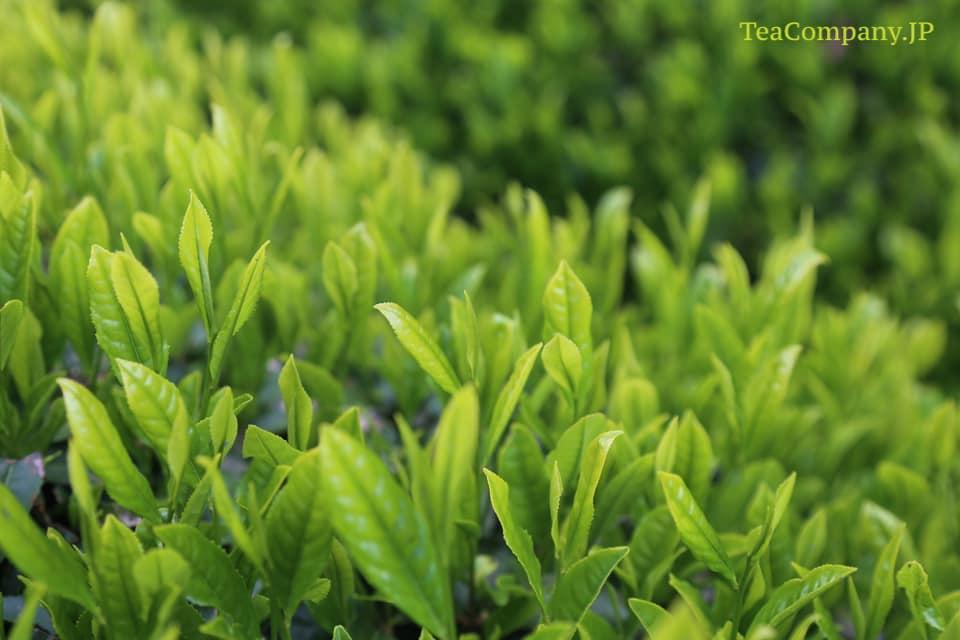 порошковый сенча Умэгасима чай