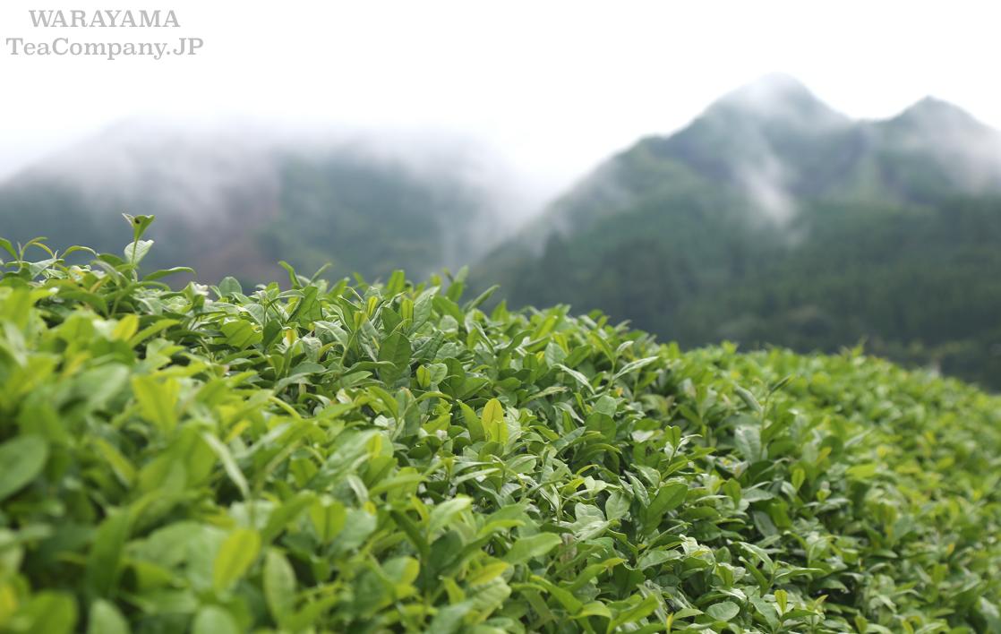 Миядзаки Яманами чай